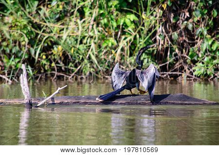 A view of a black Anhinga perched on a log