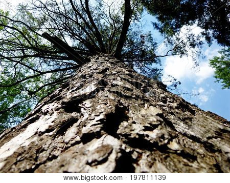 Trunk of the tree below upwards. Very old pine. Thick trunk. On the background of the sky with clouds