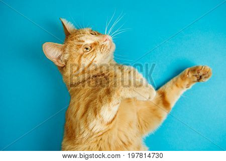 Cat standing on two paws with estonished smart look on blue background. Fluffy domestic animal isolated on blue background. Cute red feline