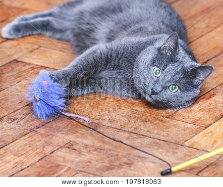 Adult grey cat lies with lilla mouse toy