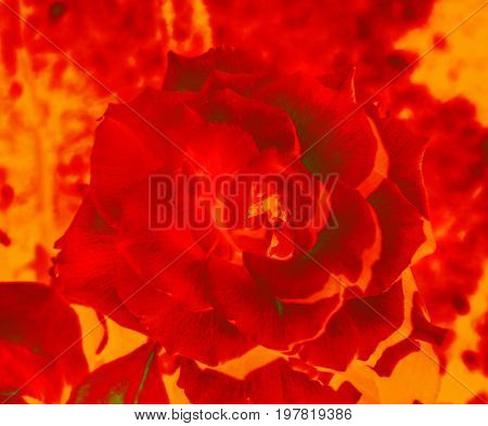 Big inflamed flower of rose for fantasy and creative