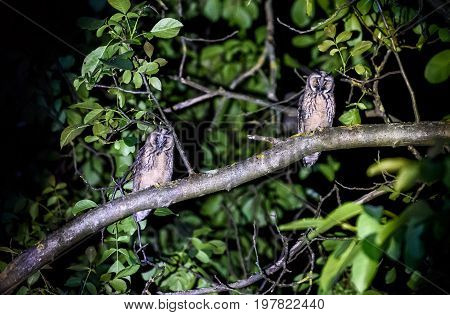 Two short or long eared owls sitting on a branch. Asio otus or Asio flammeus with yellow eyes sitting on a walnut tree at night in urban area.