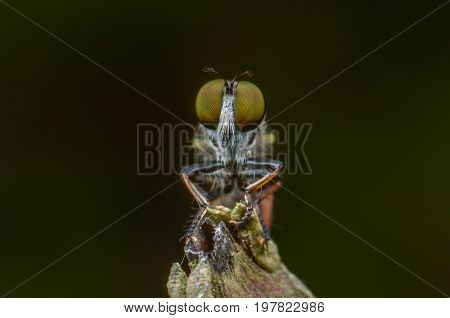 Macro shot of a robber fly on the branch tree.The robber flies are an abundant and diverse family (Asilidae) known for their predatory behavior.