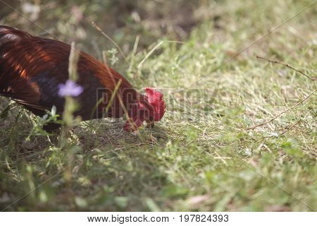 Closeup of a red chicken on a farm in nature. Chicken in the farm yard