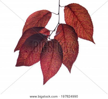 Fantastic, fresh and dark red autumn leaves isolated over the white background. A beautiful branch with dark purple leaves of a plum tree. Saturated red and decorative foliage. Botany concept.