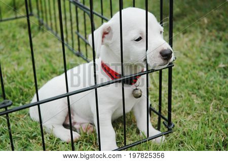 Sad jack russell terrier puppies sitting in cage on the grass.