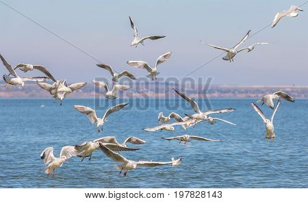 Many seagulls (Larus michahellis) are flying over the water in search of food
