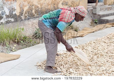 FORT COCHIN, INDIA - JANUARY 22, 2016: Ginger worker laying out ginger into piles at old ginger factory in Fort Cochin, Kerala, South India.