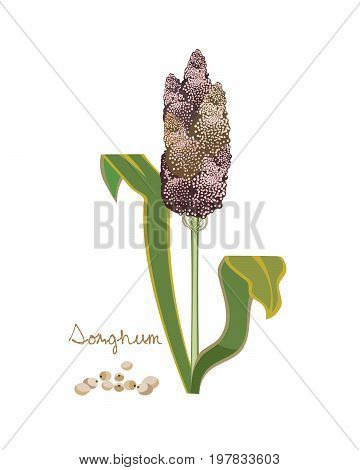 Concept of grain crops. Grain sorghum. Sorghum plants with brown seeds isolated on white background. Vector illustration isolated on white background.