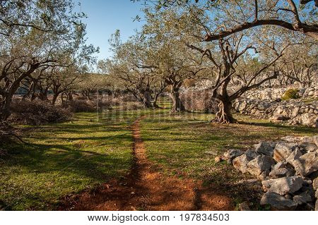 Olive grove an stone walls near the city of Cres
