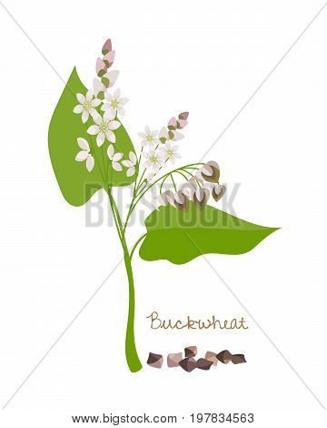 Concept of cereals and legumes and plants. Buckwheat with flower, leaves and grains. Food and ingredients for cooking. Culture for sale, agribusiness, organic products. Vector illustration isolated.