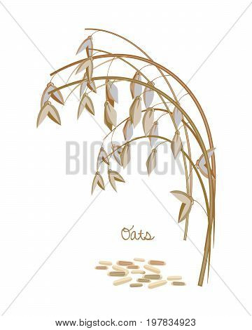 Concept of cereals and legumes and plants. Spikelet oats with leaves, stems and grains. Food and ingredients for cooking from the corn. Culture for sale, agribusiness, organic products. Vector illustration isolated.