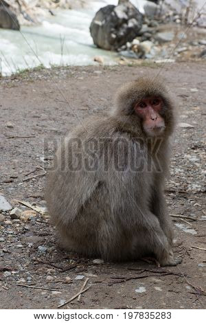 Close up of a snow monkey sitting on the pathway looking to the left. A river is in the background. Shallow depth of field.