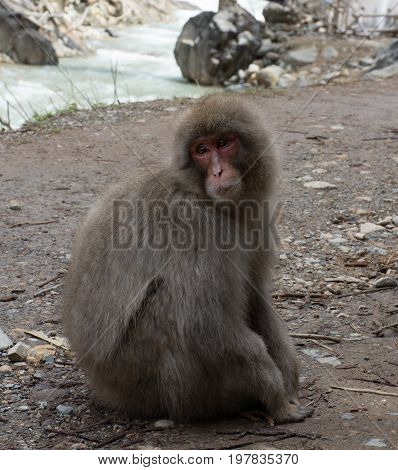 Close up of a snow monkey or Japanese macaque sitting on the pathway looking to the right. A river is in the background. Shallow depth of field.