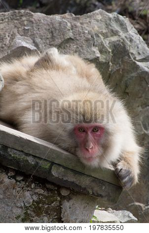 Close up of a snow monkey or Japanese macaque resting an a wood plank among rocks and boulders.