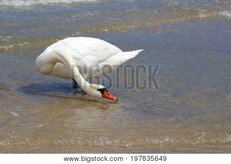 Alone swan on the beach try to drink sea water. It is seen at a beach on the Baltic Sea shore in Kolobrzeg in Poland