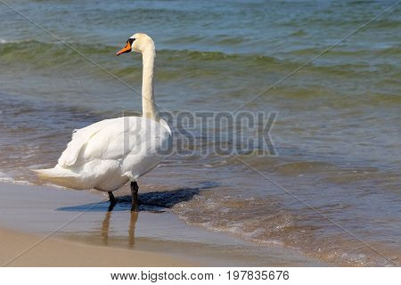 White Swan stopped at a beach by the sea and looked around. It is seen on the Baltic Sea shore in Kolobrzeg in Poland