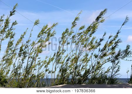 Dunes covered with bushy plants on the coast of the Baltic Sea in Kolobrzeg in Poland