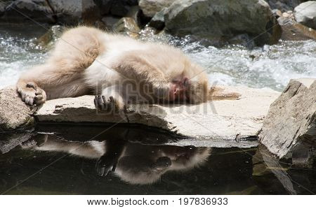 Close up of a snow monkey or Japanese macaque laying on its side at water's edge. It's reflection is seen in the foreground.