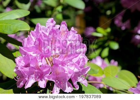 Pink rhododendron flower on a natural background