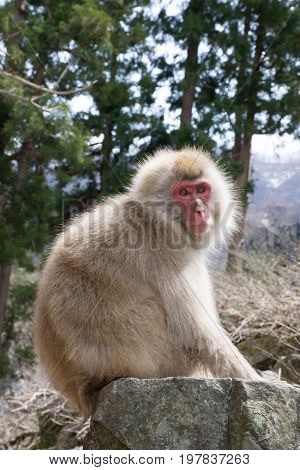 Snow monkey or red faced Japanese macaque perched on boulder with forest in the background. Shallow depth of field.