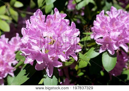 Rhododendron flowers on the background of its own bush