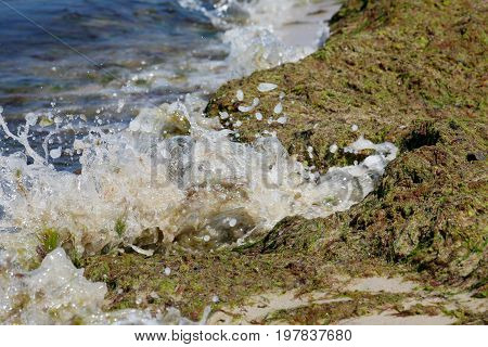 Sea waves splashing on a thick layer of a rotting seaweed that can be seen on the shoreline of the Baltic Sea