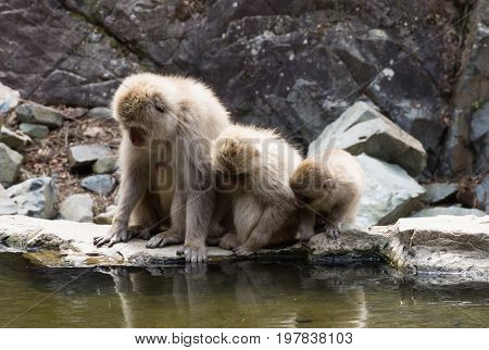 Close up of three snow monkeys peering into the water of a hot spring at their reflections.