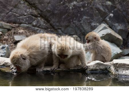 Two adult snow monkeys drinking water from a hot spring pool with the baby monkey grooming the adult.
