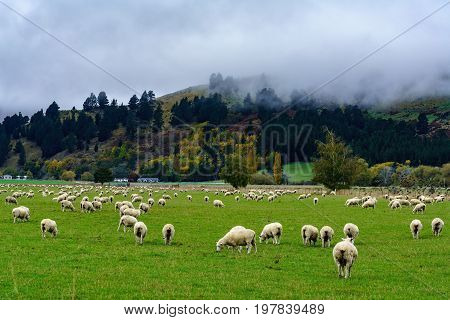 Flock of sheep grazing in the field with scenery of misty mountain South Island of New Zealand
