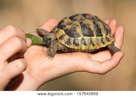 A young tortoise is feeded by a young child
