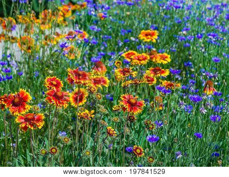 Close up of a red and yellow flower echinacea and bluettes. Colourful flower border with bluettes and echinacea.