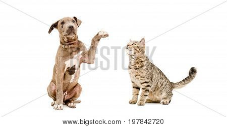 Playful puppy Pit bull and sniffing cat Scottish Straight isolated on white background