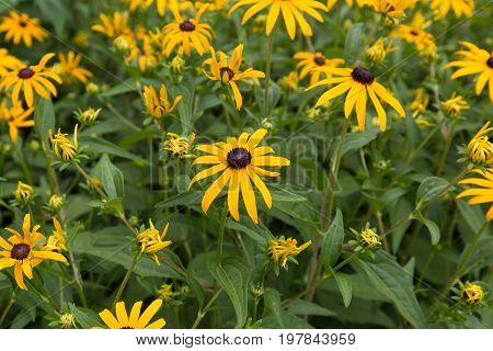 Patch of black eyed susan's in full bloom
