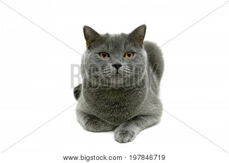 Cat with yellow eyes isolated on white background. Horizontal photo.