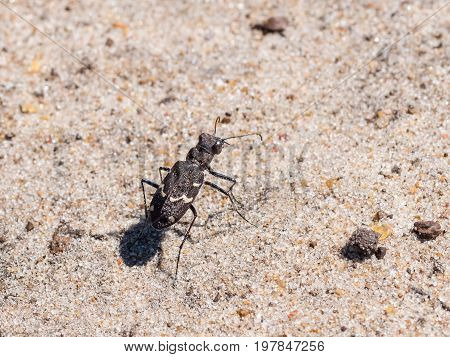 Rare Endangered Scarce Heath Tiger Beetle (cicindela Sylvatica) On Sandy Heathland Path