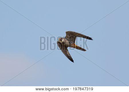 Eurasian Hobby Falcon (falco Subbuteo) Flying, In Flight Against Blue Sky