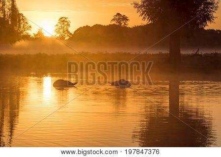 Pair Of Mute Swans (cygnus Olor) Sleeping On A Serene Peaceful Golden Pond At Sunrise