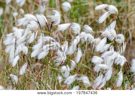 Common Cottongrass Cottonsedge Or Bog Cotton (eriophorum Angustifolium)