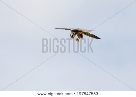 Hobby Falcon (falco Subbuteo) Dismembering Eating Feeding On Chaser Dragonfly On-the-wing Flying Aga