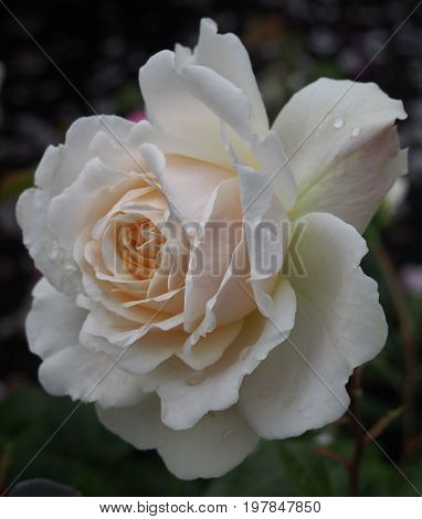 pale white rose with raindrops on a black background