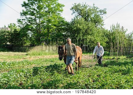Farmers are plowing a land. They is using a plow and a horse to cultivate a soil. Men are hilling rows of potatoes.