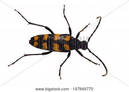 Longhorn beetle - Leptura quadrifasciata Strangalia quadrifasciata is a species of beetle in the family Cerambycidae