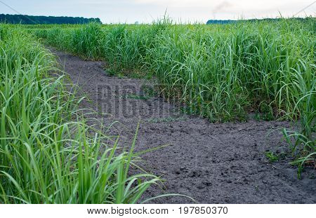 Panicum virgatum commonly known as switchgrass. Farm production of switchgrass for biomass.