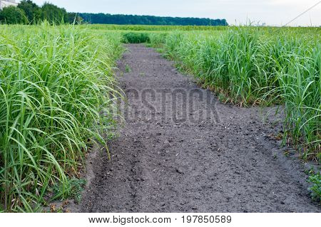 The switchgrass field with crop for bio-refineries