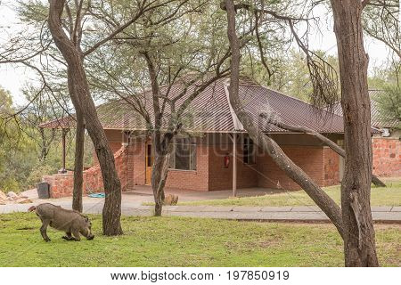 WATERBERG PLATEAU NATIONAL PARK NAMIBIA - JUNE 19 2017: A warthog grazing in front of a chalet in the rest camp in the Waterberg Plateau National Park near Otjiwarongo