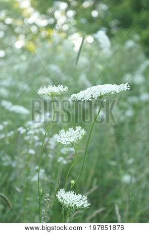 A single image of a set of images capturing the abunadant beauty of the graceful Queen Anne Lace Flowers in full summer bloom located in Eastern Ontario Canada.