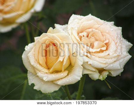 Rose flower. Flowers. Very beautiful image.