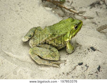 Beautiful green frog on the sand.