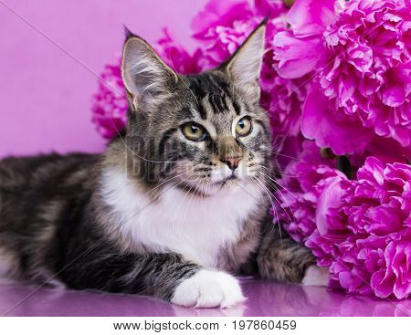 Close up portrait of black tabby Maine Coon cat on pink background